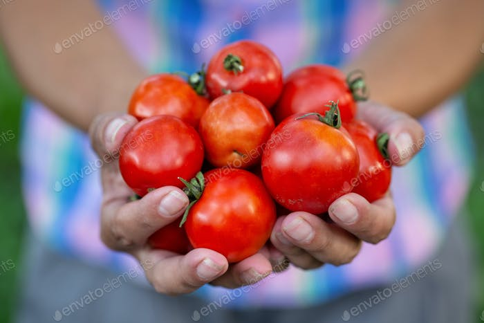 Crop of harvested tomatoes in hands of farmer