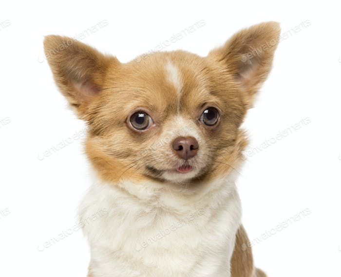 Close-up of a Chihuahua, 2 years old, isolated on white