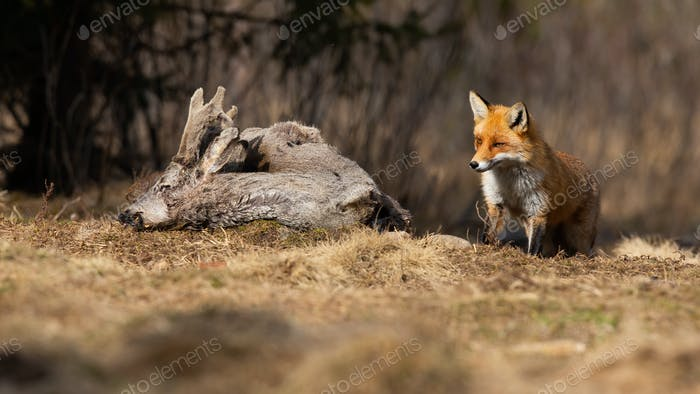 Curious red fox coming to the dead roe deer on the meadow in early spring