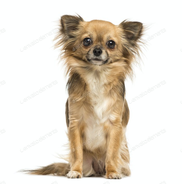 Sitting Chihuahua looking at the camera, 2 years old, isolated on white