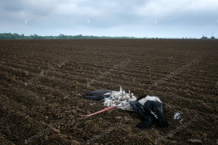 Dead stork on agriculture field