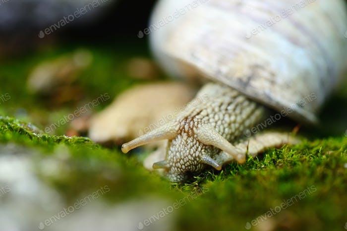 Caracol arrastrándose en el musgo. Enfoque selectivo