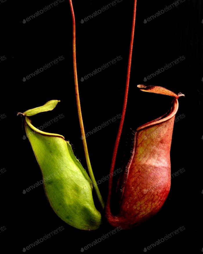 tropical pitcher plants
