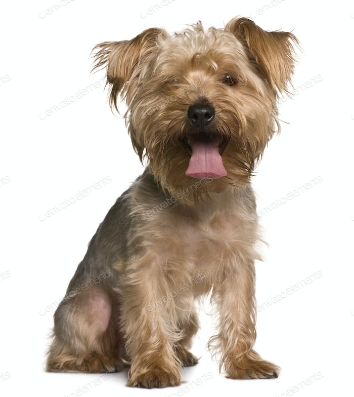 Yorkshire terrier, 3 years old, sitting in front of white background