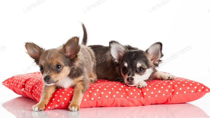 Zwei Chihuahua Welpen