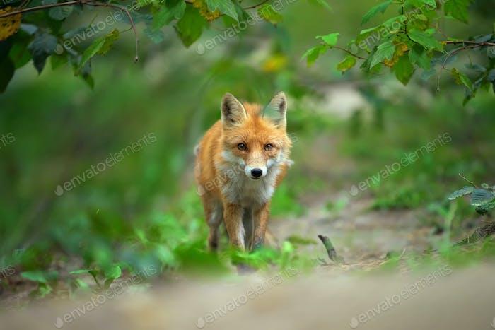 Vertical de un zorro rojo (Vulpes vulpes)