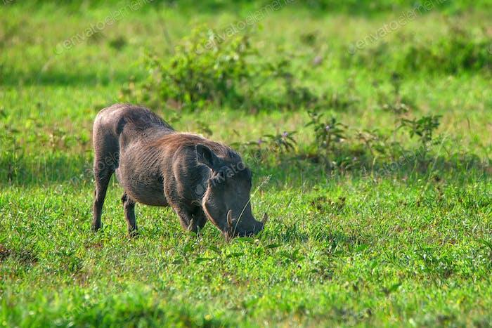 Warthog or Phacochoerus africanus in savannah
