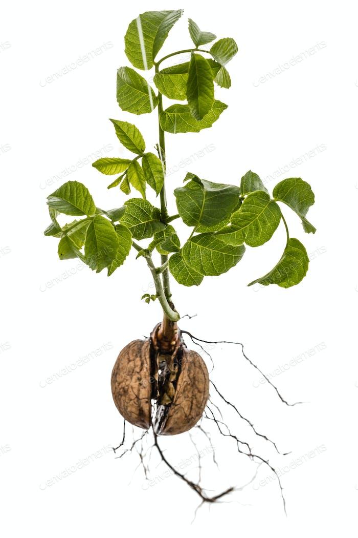 Sprout einer jungen Walnuss, isoliert auf weißem Hintergrund