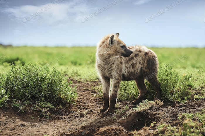 Young spotted hyena on Savannah