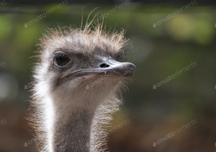 Ostrich Close-up In The Looks Cautiously Around.