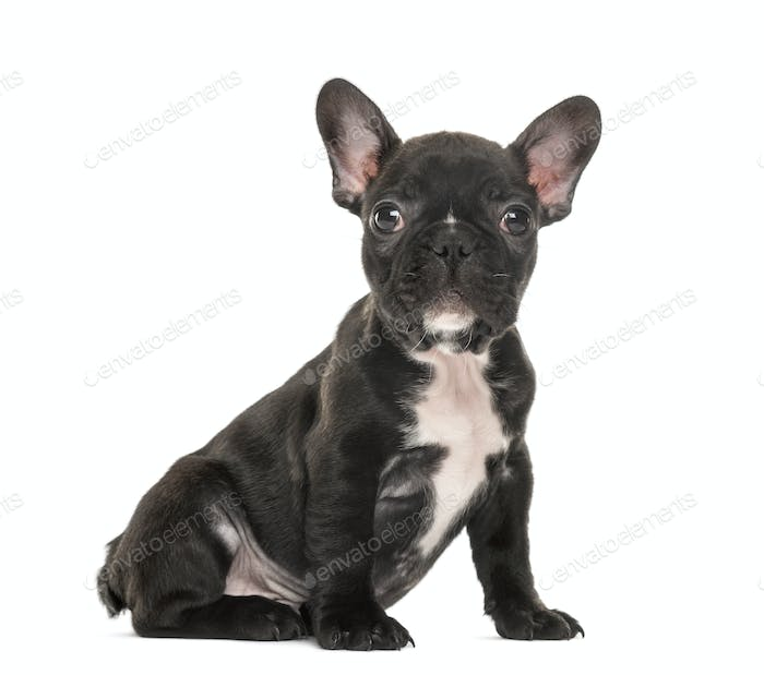 Puppy French Bulldog puppy sitting, 2 months old, isolated on white