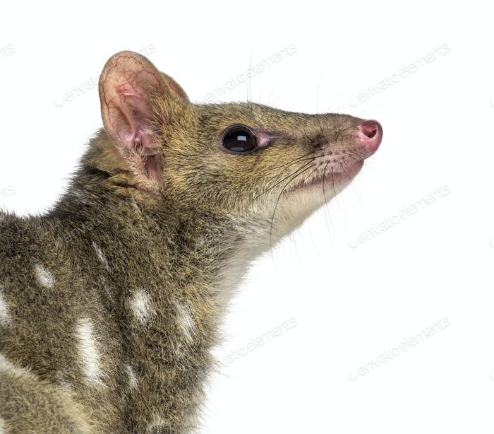 Profile of a Quoll isolated on white