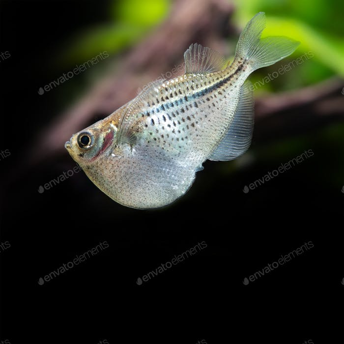 Decorative aquarium fish Flying heavily-keeled body Gasteropelecus sternicla