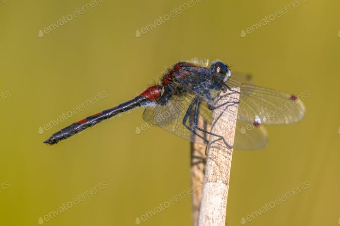 Ruby whiteface dragonfly on stick
