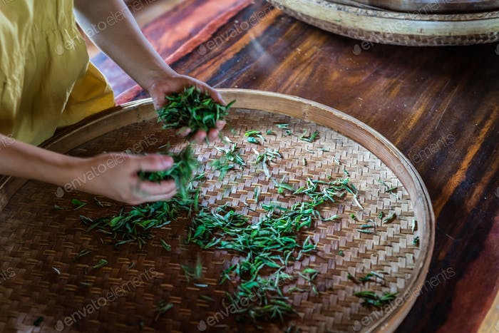 Thumbnail for Shot of fresh tea leaves gathered from the plantation  spread on around tray