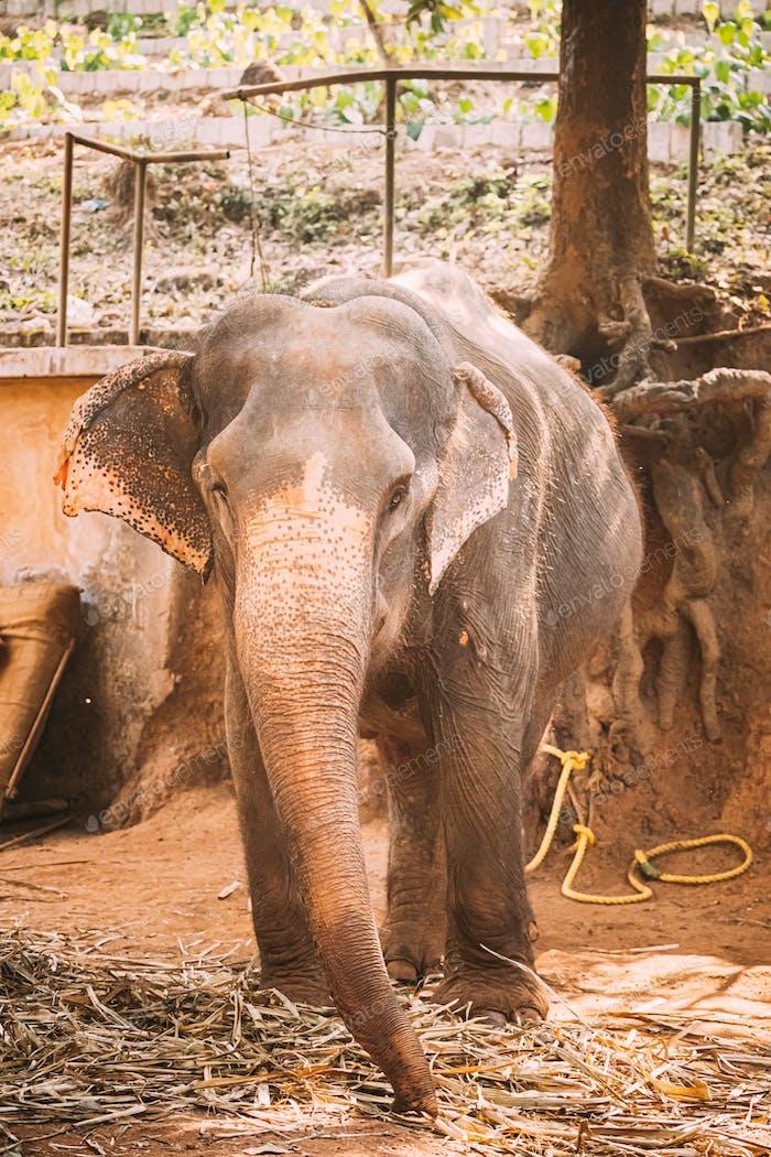 Goa, India. Close View Of Elephant Cow On Farm