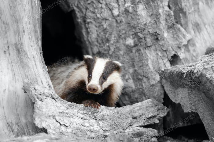 Black and white photography with color badger