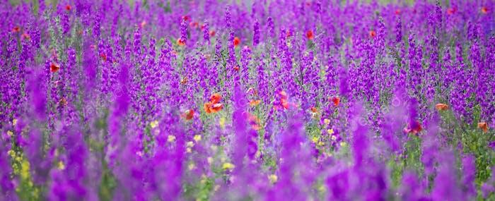 Schöne Sommerwiese von lila Blumen
