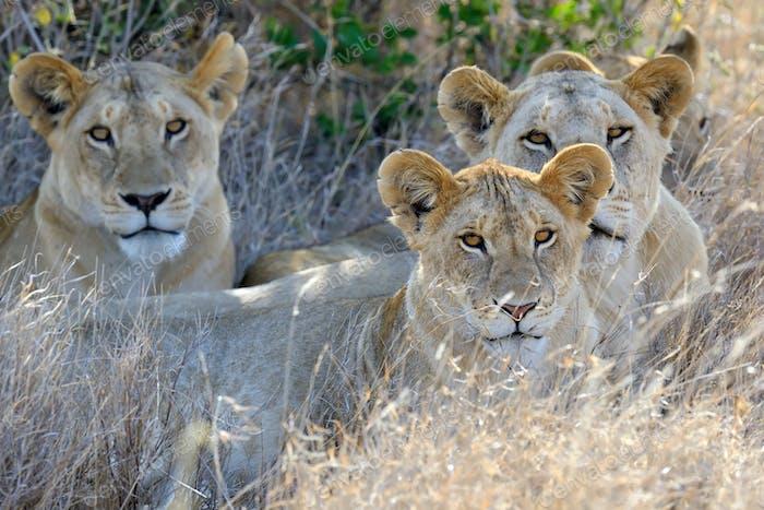 Lion in National park of Kenya, Africa