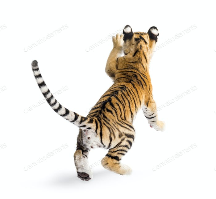 Thumbnail for Two months old tiger cub pouncing against white background