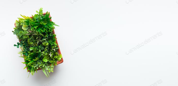 Evergreen plant in pot on white desk background