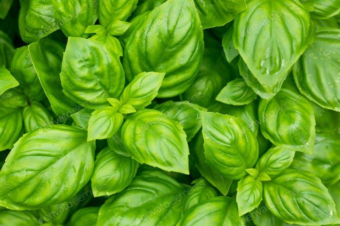 Raw Green Organic Basil Plant