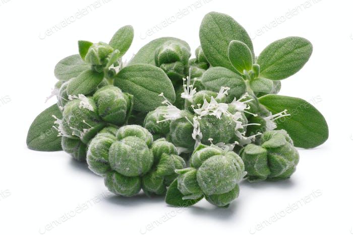 Majoran (Origanum majorana) Blumen, Blätter und Knospen, Pfade