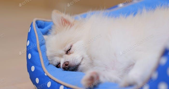 Pommerschen Hund schlafen auf dem Bett