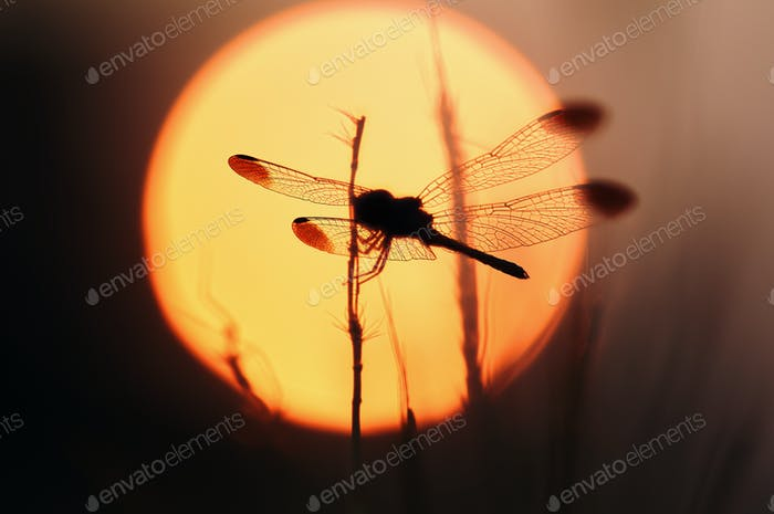 Silhouette of a dragonfly in front of the sun