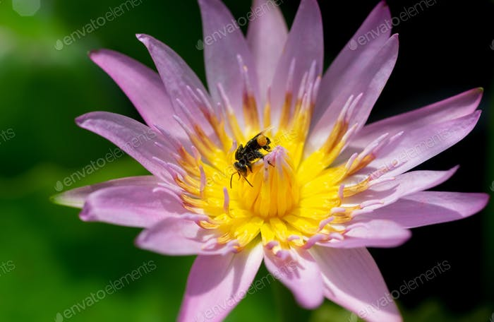 lotus lily and a bee
