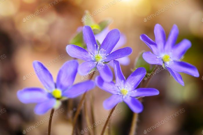 Blüte im Frühlingswald Hepatica nobilis