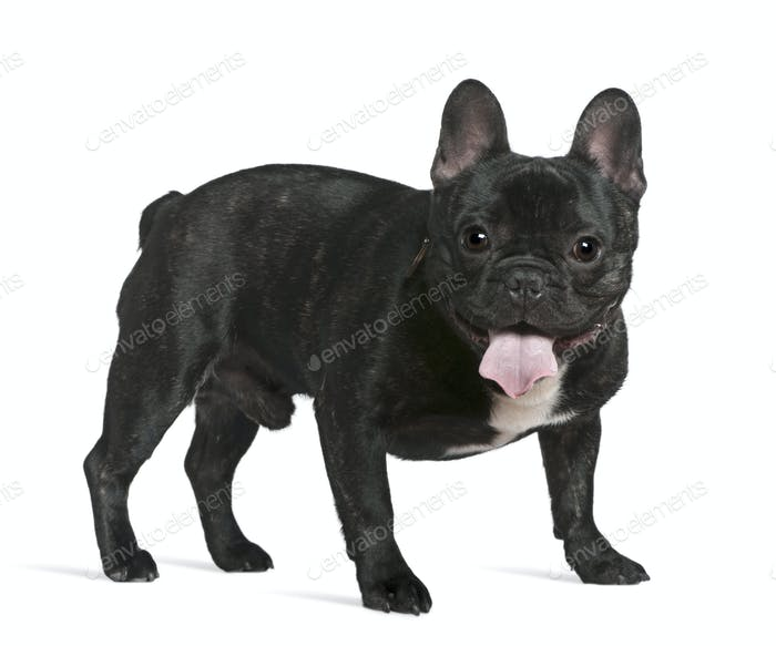 French bulldog, 1 year old, standing in front of white background