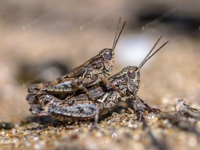 Pair of North Island Grasshopper