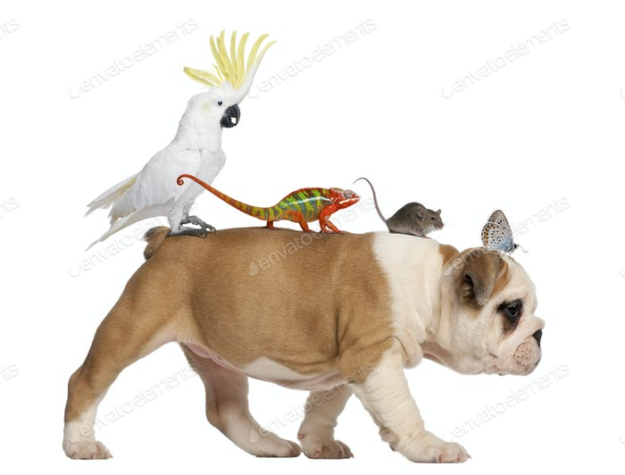 English Bulldog puppy, 2 months old, carrying toucan, chameleon, rat and butterfly