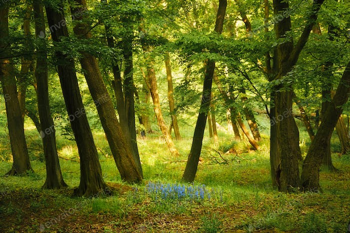 Bluebells on the spring forest
