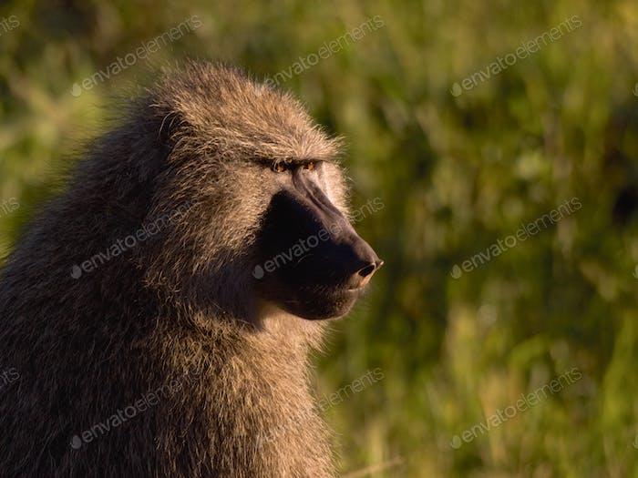 Pavian in der Wild28
