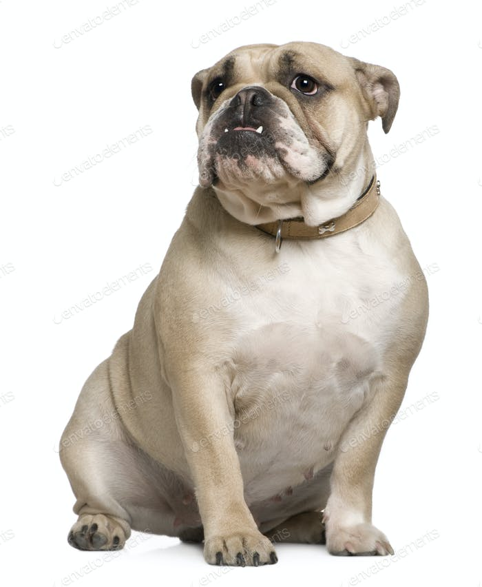 English Bulldog, 15 months old, sitting in front of white background