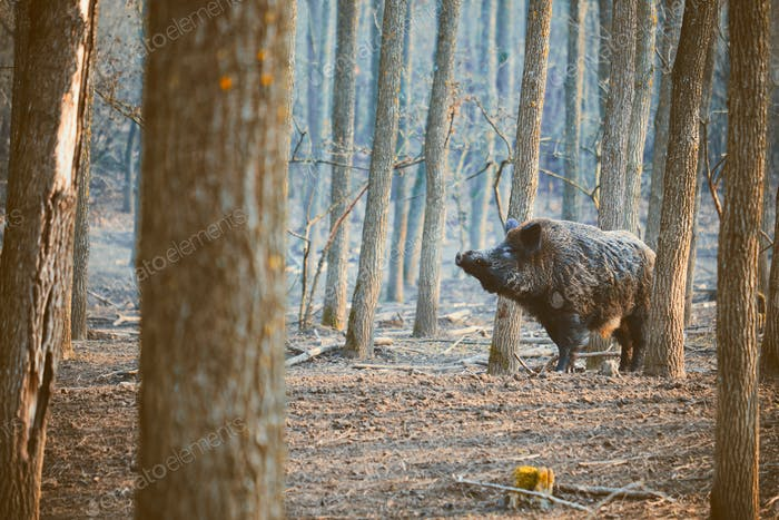 Wild boar, sus scofa