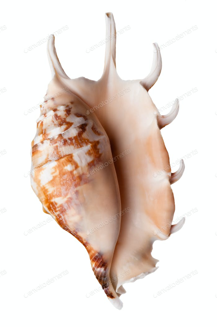 Empty sea shell