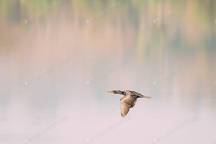 Carambolim See, Goa, Indien. Der indische Kormoran fliegt über Wasseroberfläche am sonnigen Morgen