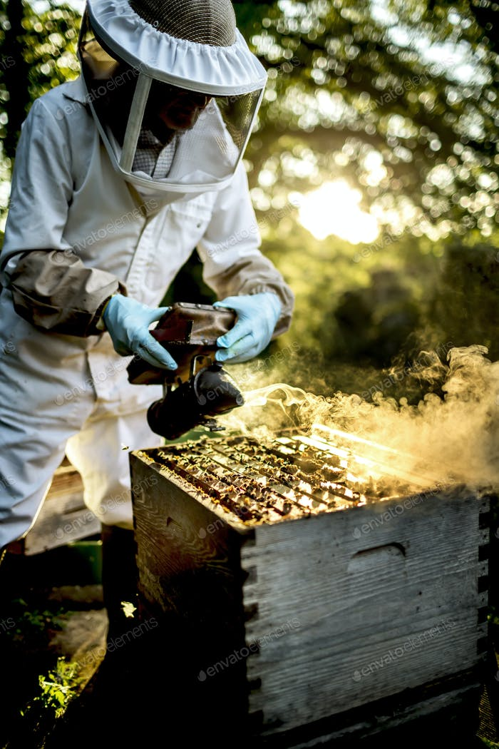 Beekeeper wearing a veil using a smoker on a beehive to calm honeybees.