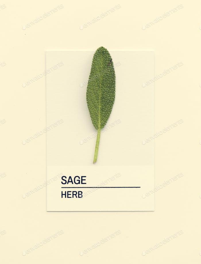 Sage leaf on white paper