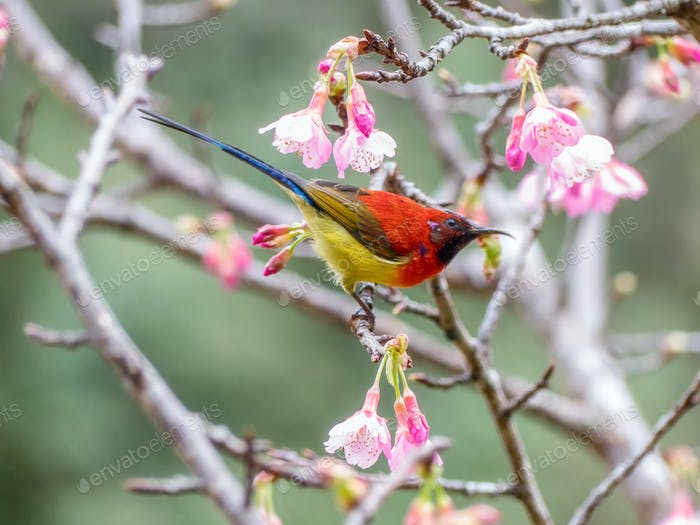 Mrs Gould's sunbird (Aethopyga gouldiae)