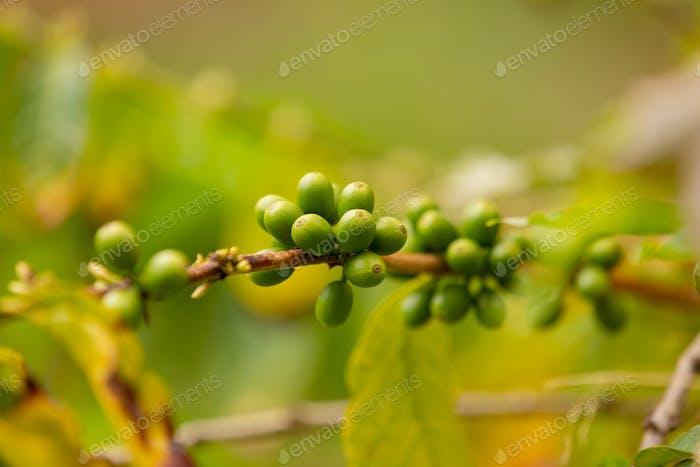 Twig Of Fresh Coffee Fruits Growing In Farm