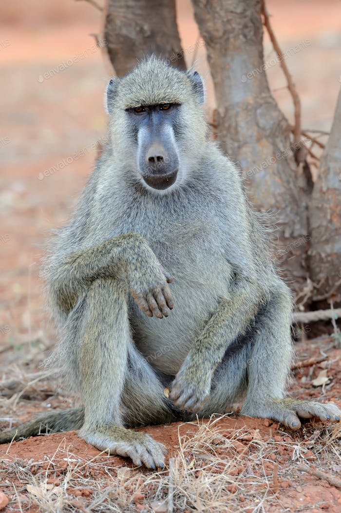 Baboon monkey in National park of Kenya