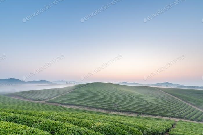 tea plantation landscape in dawn