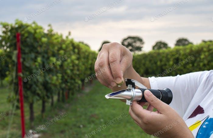 Measure grape beans in vineyards. Woman farmer measure grape sug