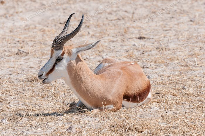 Close-up of a springbok  lying on the ground