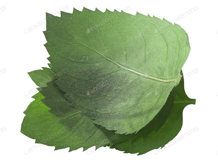 Dried flattened Mint leaves (Mentha piperita), isolated, top  view
