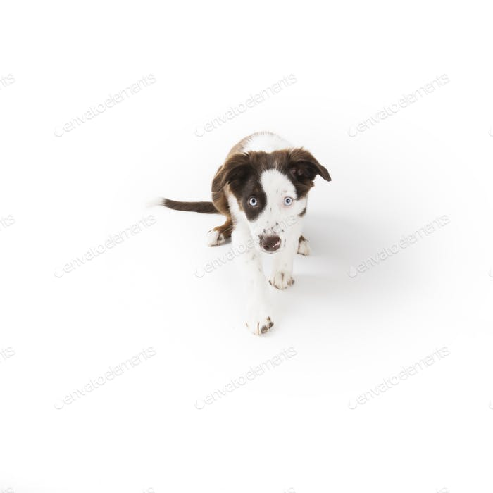 Mute Mini Aussie Puppy